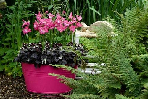 Gladiolus går utmärkt att odla i kruka. Det gör det enklare att flytta ohärdiga gladioler ut och från vinterförvaringen.