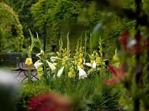 Gladiolus kräver knappt någon skötsel. Det gäller att hantera dem som dahlior om det inte är härdiga sorter.