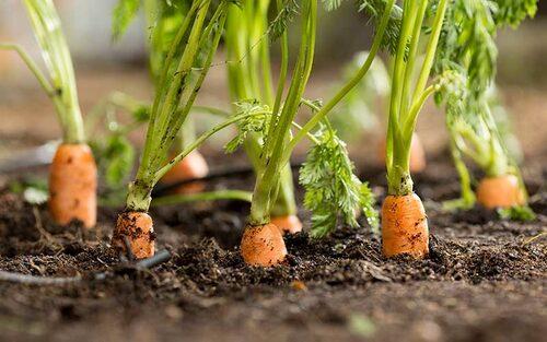 I oktober respektive november (beroende av hur tidigt vintern kommer i din del av landet) kan man med fördel höstså morötter för nästa års odlingssäsong.