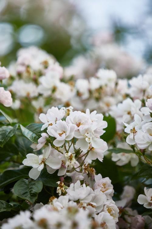 En av Karins favoritrosor är filipes-rosen 'Brenda Colvin', en kraftig klätterros med ljusrosa blommor som bleknar till vitt.