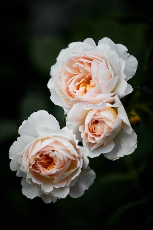 Austinrosen 'Crocus Rose', en modern buskros, blommar först i en varm ton av ljusgult, men bleknar efterhand till nästan vitt.