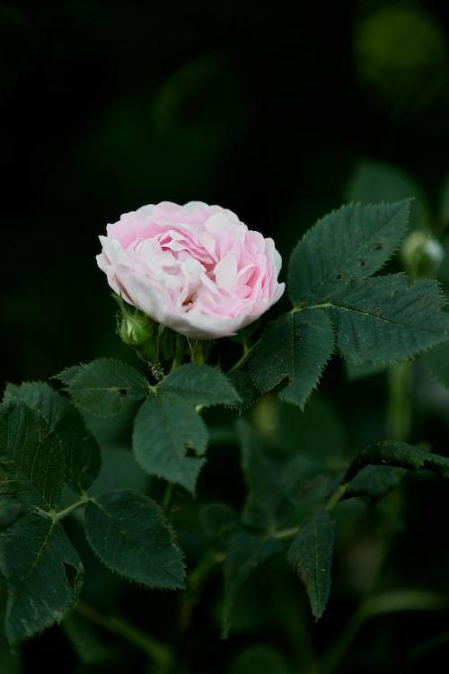 Jungfrurosen 'Maiden's Blush' är en klassisk gammaldags ros.