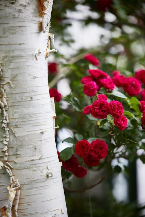 'Chevy Chase' är en söt, småblommig, soulieana-roshybrid som skapar en effektfull kontrast mot himalayabjörkens vita stam.