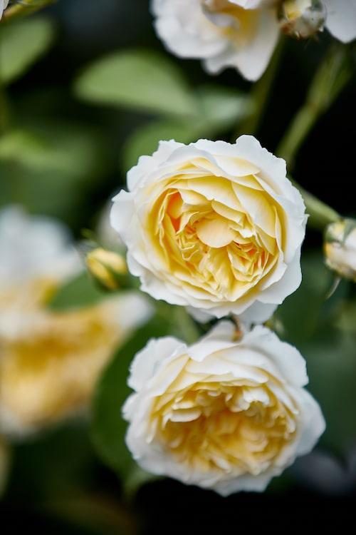 Den ljusgula Austinrosen 'The Pilgrim', en modern buskros, fick Karin att bredda sig från gammaldags rosor i rosa toner.