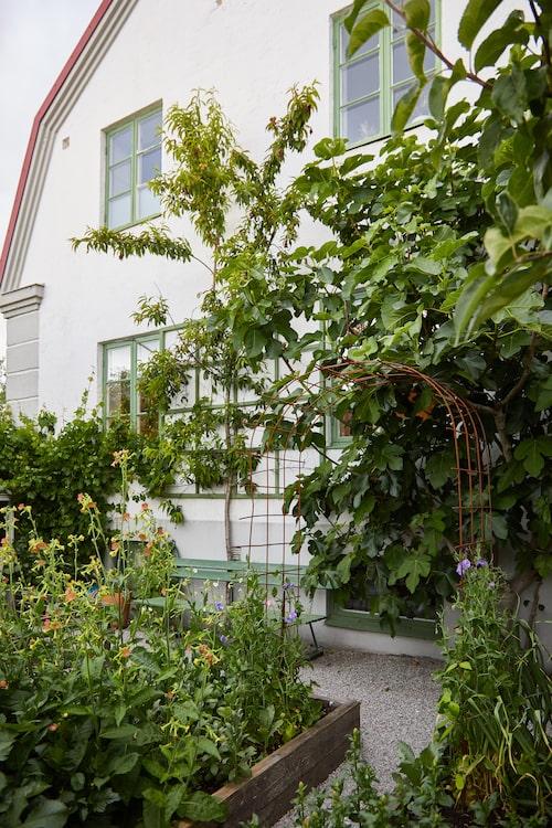 Persikoträdet som växer intill husets sydsida, i köksträdgården, ger ofta stor skörd. Karin brukar göra en god marmelad av frukten.