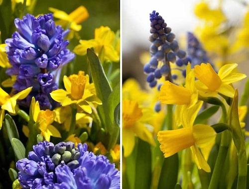 Påsktazetten 'Tête à Tête' tillsammans med blå hyacinter och pärlhyacinter.