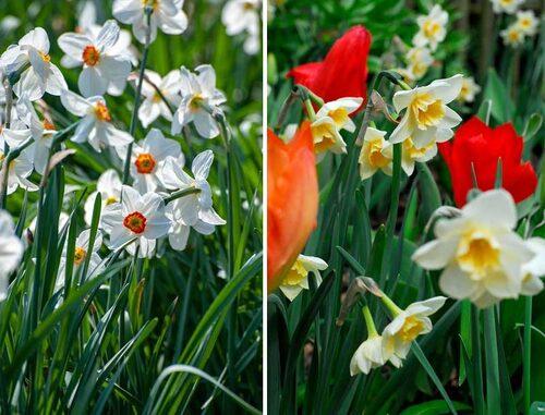 Pingstlilja 'Recurvus' och trädgårdsjonkvill 'Bell Song'