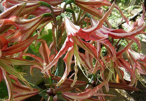 Spindelamaryllis kallas de med massa smala kronblad. Finns i flera olika nyansskiftningar.