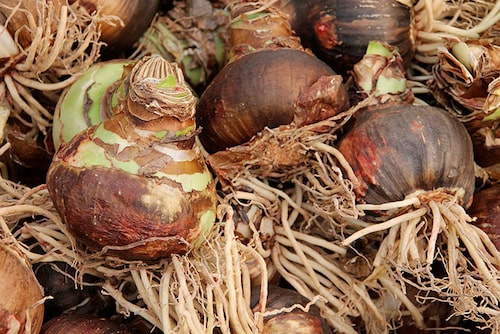 Stora amaryllislökar, fasta och med friska rötter.
