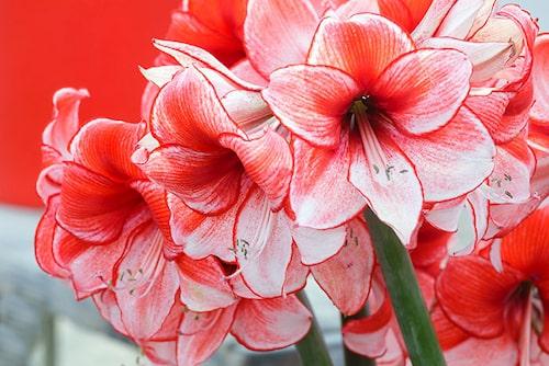 Det finns många sorters amaryllis – röda, vita, randiga, dubbla. Här är 'Charisma'.
