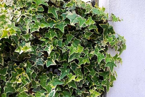 Det finns flera vackra vitvariegerade namnsorter av murgröna. De tål soligare lägen bättre än de mörkbladiga. Här är Hedera helix 'Anna Marie'.