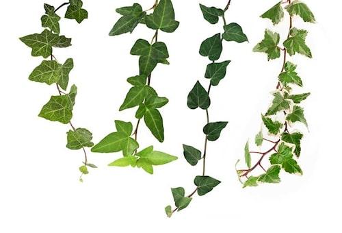 Det finns flera olika arter och sorter av murgröna i handeln. De skiljer sig åt i växtkraft, härdighet, bladform och färg. Välj växtkraftiga för att täcka in stora ytor, och småbladiga till krukor och för att göra former.