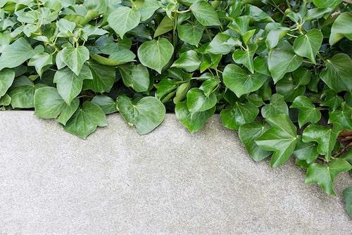 Murgröna kan användas både som marktäckare och klätterväxt. Klä in fula murar, plank eller betongfundament.