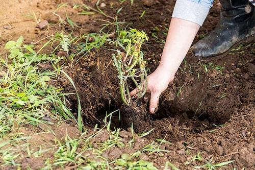 Barrotade rosor levereras utan jord och ska planteras så fort som möjligt. Sätt dem i vatten när du fått hem dem.