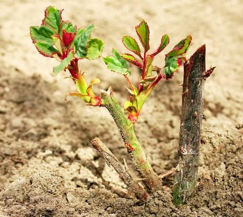 En ros ska alltid planteras så att okuleringsstället, knölen där man förädlat, hamnar under jord.