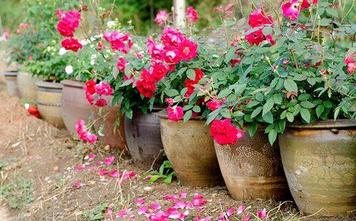 Rosor går bra att plantera i kruka, bara den är tillräckligt djup och man vattnar ordentligt!