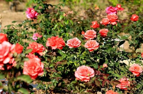 Rosor går att plantera både vår och höst, så länge det går att gräva i marken, men undvik när det är som varmast på högsommaren.