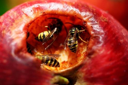 Fallfrukt lockar till sig getingar. Städa bort den nära huset i tid.