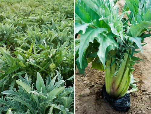 Vackert bladverk på kronärtskockor. Till höger är ett kardon, variant på kronärtskocka som odlas för sina stjälkar. Plastpåsen ska bleka.
