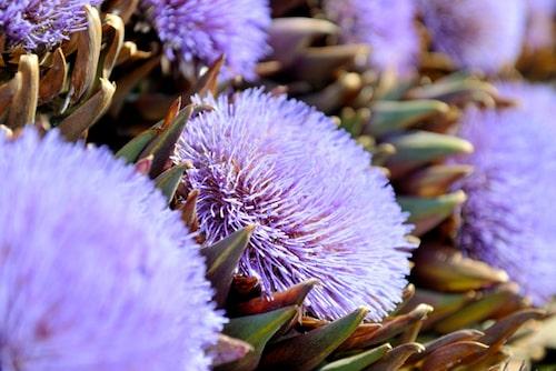 Kronärtskockans vackra blommorna går att torka till eterneller