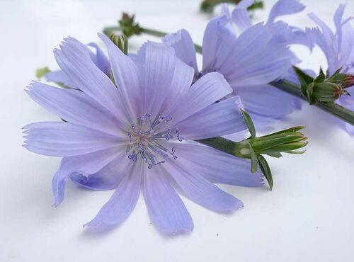 Tänk att ha så här blå cikoria att lysa upp en sallad! Även blåklockor är ätliga blommor.