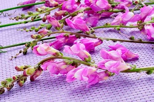 Lejongap har ätliga blommor med fräck form och lite bitter smak.