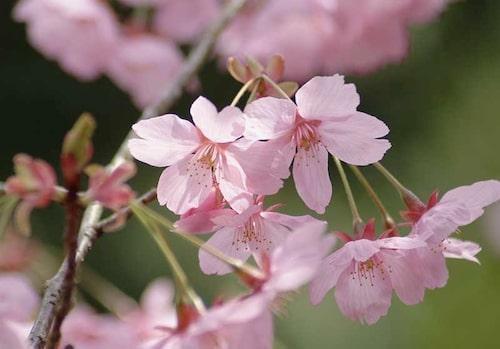 I Japan hyllar man körsbärsblomningen och använder dem i alla möjliga bakverk. Det går även att använda päron- och äppelblommor på samma sätt.