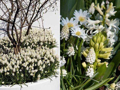 Dröm i vitt! Plantera pärlhyacinter i kruka eller direkt i rabatten. Det går bra att samplantera med andra vårblommande växter.