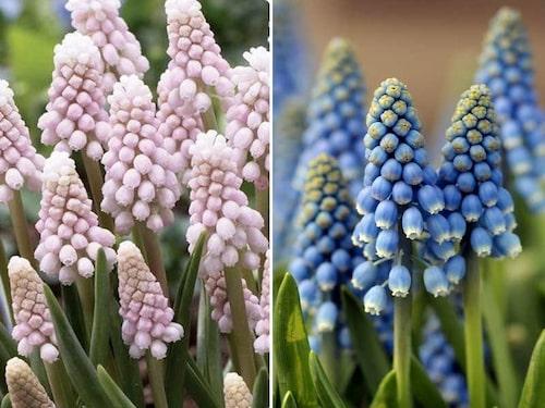 Pärlhyacinter finns i flera färger – olika nyanser av blått, lila, vit och rosa. Här sorterna 'Pink Sunrise' och 'Blue Magic'.