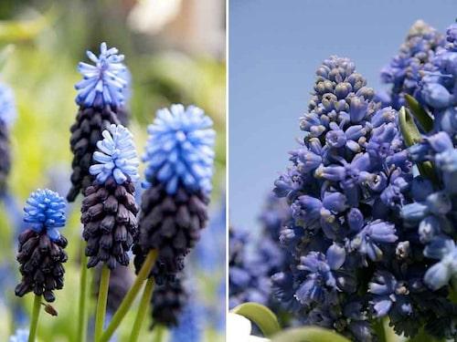 Bredbladig pärlhyacint M. latifolium har tvåfärgade blomsamlingar, och den armeniska pärlhyacinten 'Blue Spike' har fyllda blå blommor.