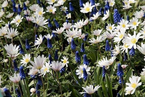 Samplantera gärna pärlhyacinterna med andra vårblommor, som här balkansippa (Anemone Blanda).