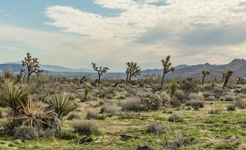 Joshua Tree är en nationalpark två och en halv timme från LA – och titeln på ett U2-album.