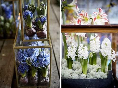 Glaslådor med hyacinter är ett spännande sätt att exponera jullökarna på. Här har man lagt en matta av fönsterlav över jorden.