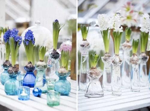 Hyacinter i glasvas är en klassiker. Lyft kompositionen till nya höjder genom att ha flera och i olika storlekar.