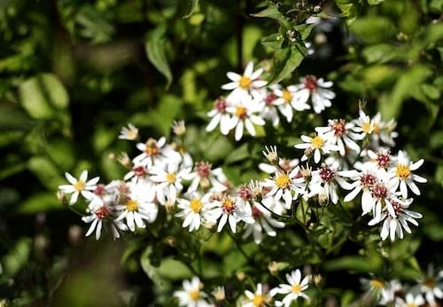 Årets perenn 2015 är vit skogsaster Aster divaricatus.