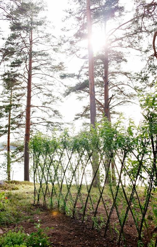 Den nyplanterade pilhäcken ska bli skydd mot nordanvinden.