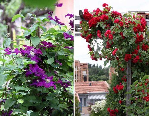 Storblommig klematis 'Warszawska Nike' får mustigt rödlila blommor. Flammentanz' är nog den vanligaste rödblommande klätterrosen, men den blommar bara en gång under sommaren.