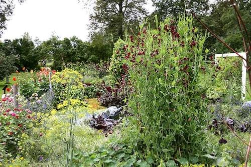 Sätt prydande ettåriga klätterväxter som luktärter, medan du väntar på de långsammare perenna och vedartade.