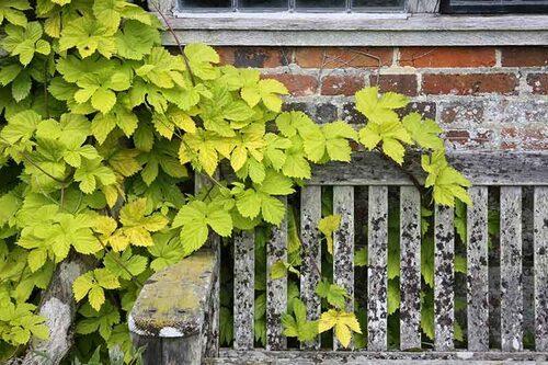 Vill man ha en snabbväxande klätterväxt kan man välja humle. Guldhumle 'Aureus' är inte lika starkväxande, men får en underbar gyllene färg.