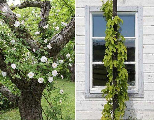 Klätterrosen 'Venusta Pendula' i ett äppelträd. Till höger humle är härdig ända upp i fjällregionen.