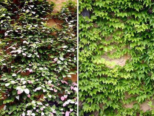 Kameleontbuske har sina flerfärgade blad och klättervildvinet erbjuder en brinnande färgprakt på hösten.