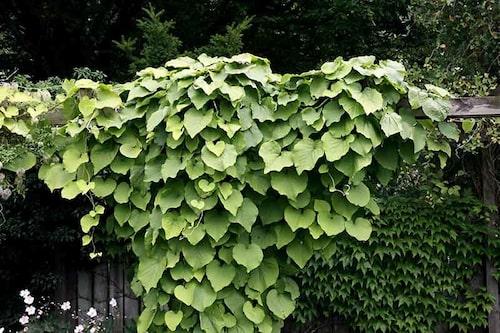 Koreansk pipranka har stora blad och friskt frodigt bladverk, som ger en lummig känsla.