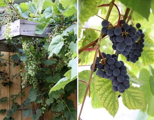 Vindruvor mognar snabbare mot en varm södervägg.
