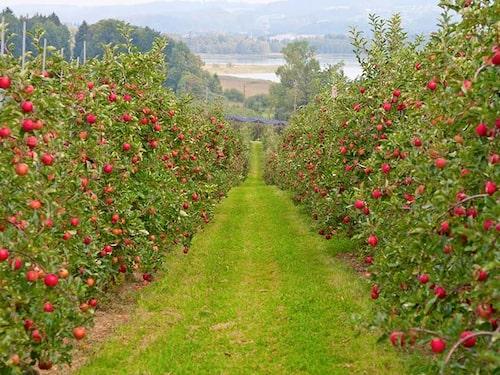 """Kontinuerligt beskurna fruktträd ger en jämnare skörd. Här är """"pelaräpplen"""" hos en äppelodlare."""
