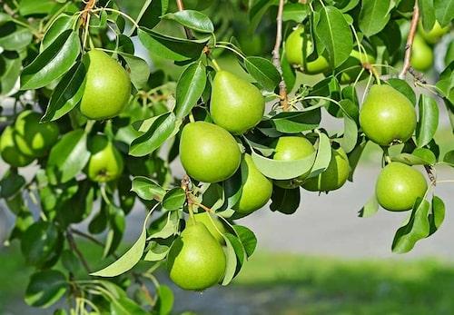 Beskärning av fruktträd, framförallt päronträd och äppelträd ger jämnare skörd och större frukter.