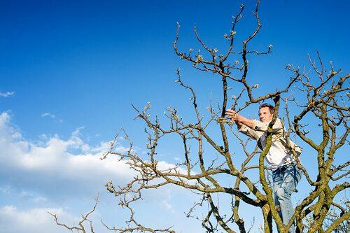 Beskärning av äppelträd under vårvintern.