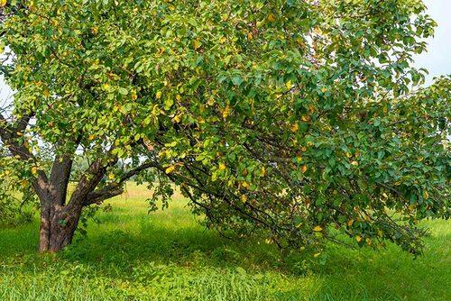 Ett gammalt äppelträd som kan behöva en rejäl föryngringsbeskäring. Dela upp i omgångar för att slippa vattenskott!