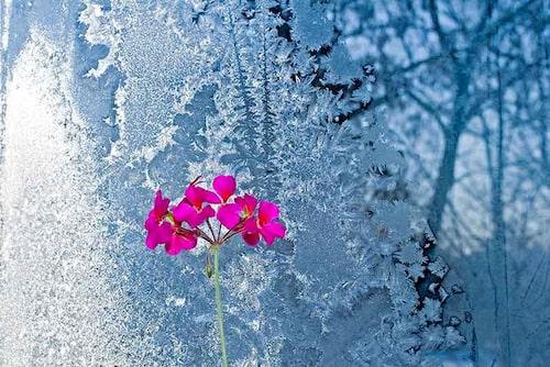 En pelargon kan övervintras i ett fönster inomhus, men sänk gärna temperaturen.