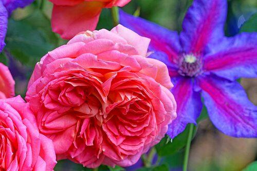 Se till att välja rosor och klematis som har samma beskärningsperiod för enklare skötsel.