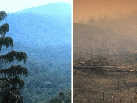<p><strong>&quot;The palm trees can be grown on sunny tropical region. Most plantationlands are cleared through administering the slash-and burn technique&quot; - citat fr&aring;n en samlingssajt av Malaysiska palmoljeplantager. Bilderna &auml;r tagna redan 1998 och kan presentera ett slags f&ouml;re och efter.</strong></p>
